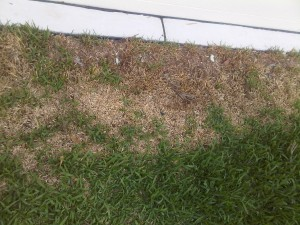 Grub Infested Patchy Lawn